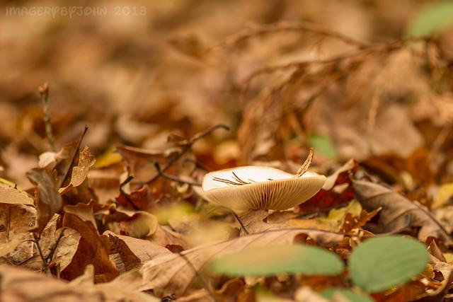 Autumnal Mushroom