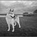 Husky by SFB579 Namaste