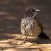 Small photo of Arrow-market babbler