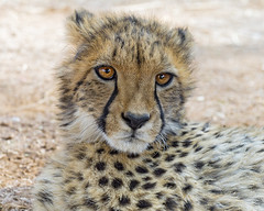 Innocent cheetah cub