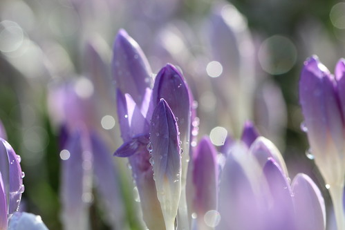macro crocus bokeh with water droplets