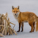 Fox on ice by MOZBOZ1