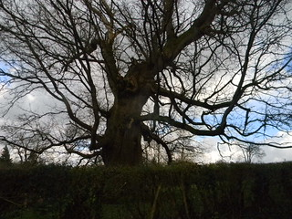 Witchy old tree