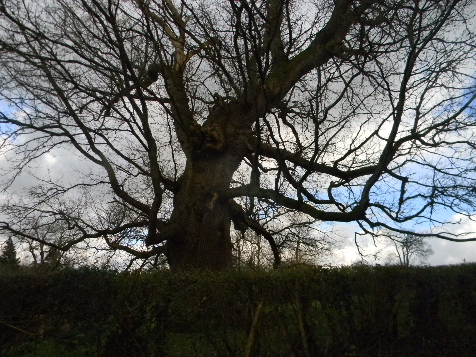 Witchy old tree Etchingham to Wadhurst