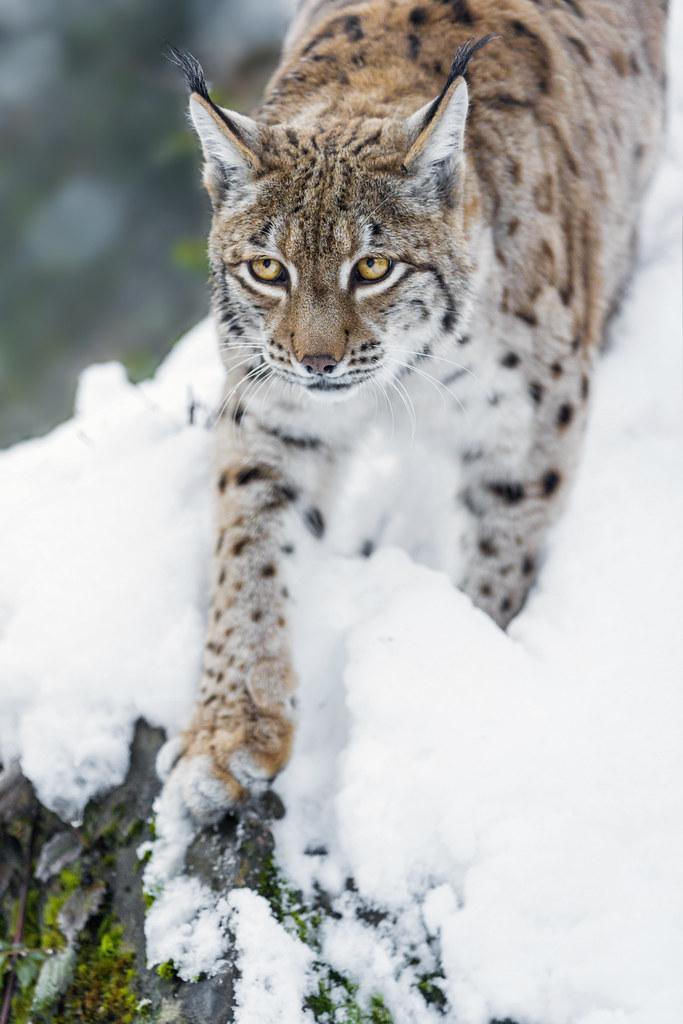 Lynx getting down the bush