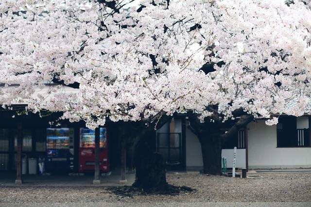 sakura_6833