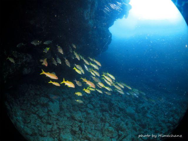 黄色い群れ、ヨスジフエダイとノコギリダイの群れ