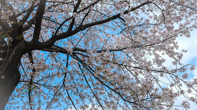 Blossoms Overhead