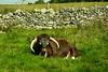 20150906-04_Handsome Horned Cattle
