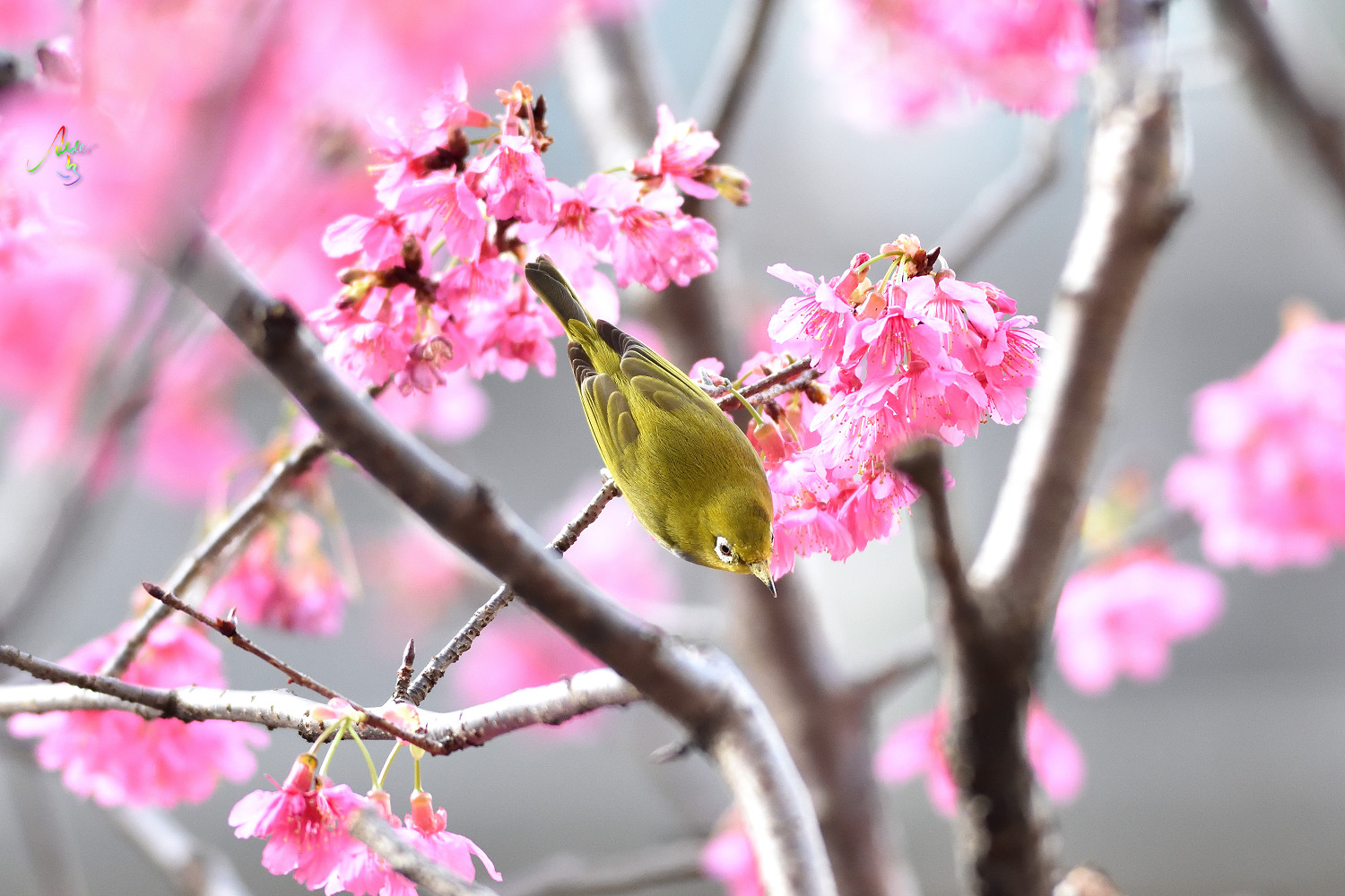 Sakura_White-eye_8140