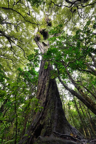 <p>One of the features of the virgin bush at Otari-Wiltons Bush is this magnificent rimu tree, estimated to be 800 years old. <br /> <br /> Image exposure-blended from seven individual photos. Taken on Samyang 14 mm.</p>