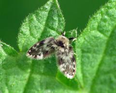 HolderPsychodidae