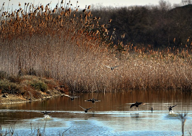 Folaghe in decollo - Coots on take off