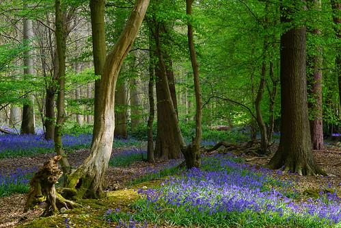 knebworth hertfordshire herts england english wood woodland spring springtime blue bluebell bluebells flower wildflower britain british uk unitedkingdom green wintergreenwood forest tree langley