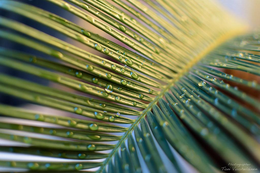 Japanese palm