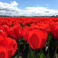 Sunny day in the tulip fields