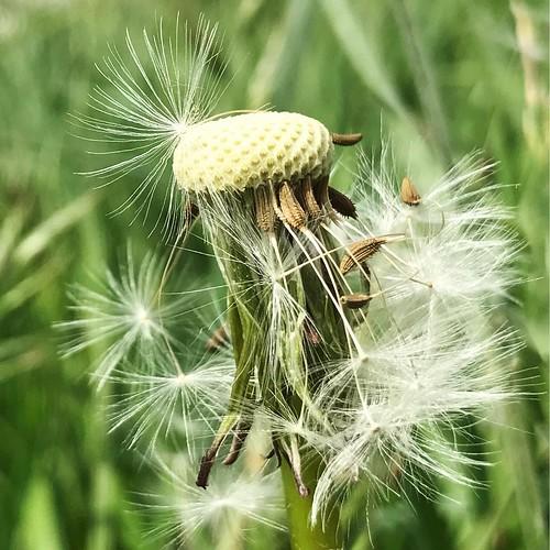 Blowing in the wind #flower #dutchie #holland_photolovers #super_holland #wonderful_holland #dandelion #bestofnetherlands #ig_netherlands #ig_discover_holland #nature #dutch_nature #green #wanderlust #uwn_holland