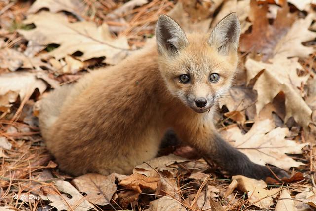 Renardeau / Red Fox