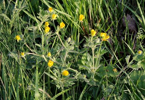 Ranunculus bulbosus - renoncule bulbeuse - Page 2 34174100101_c67ef0d639