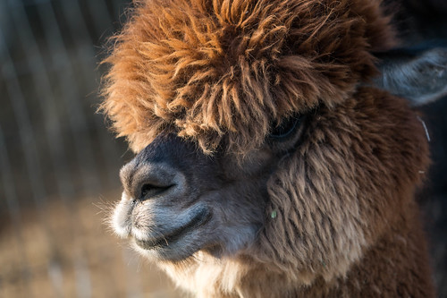 Canzelle Alpacas - Carpinteria, California