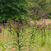New York ironweed - Photo (c) Tom Potterfield, some rights reserved (CC BY-NC-SA)
