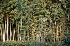 Skinny Bamboo