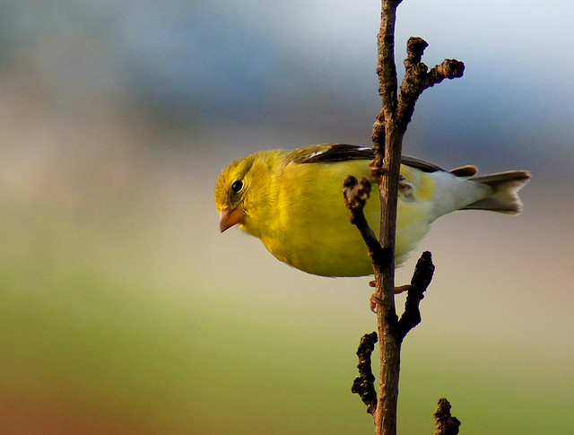 American Goldfinch, Goldfinch, Bird, Yellow