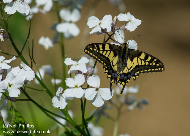 Swallowtail butterfly Papilio machaon-5