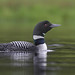 Common Loon by Canonshooterman