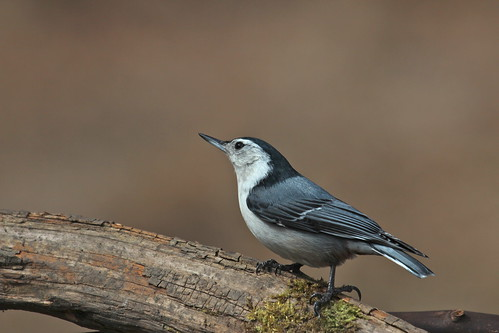 White breasted nuthatch. by ricmcarthur