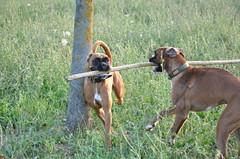animal sports(0.0), hound(0.0), segugio italiano(0.0), broholmer(0.0), bavarian mountain hound(0.0), redbone coonhound(0.0), sports(0.0), coonhound(0.0), rhodesian ridgeback(0.0), dog sports(1.0), dog breed(1.0), animal(1.0), dog(1.0), pet(1.0), mammal(1.0), hunting dog(1.0),