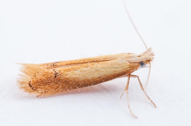 Tischeria species (Tischeriidae)
