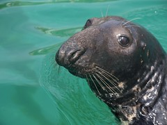 Newquay Harbour Seal