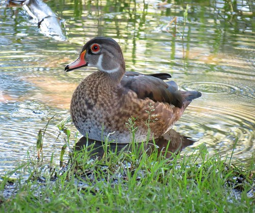 Wood-Duck - Canard Branchu .......Laval.....27-7-2013....091 by Diane G....