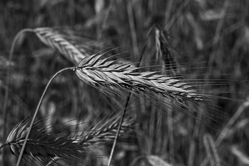 Rye Up Close in Black and White