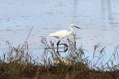 Little Egret 5590