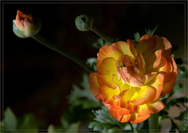 """""""Ranunculus asiaticus"""""""