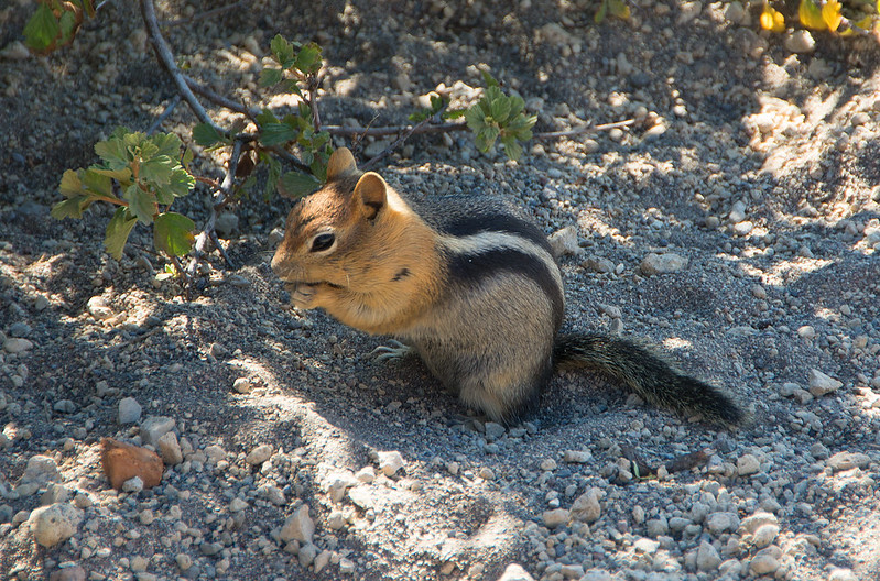 Golden Mantled Ground Squirrel by Iuminary