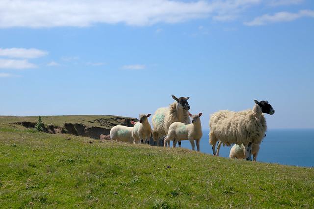 Cliffedge Sheep 1
