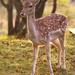 Fallow Deer by charlie.syme