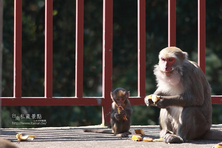 台南私藏景點-南化烏山獼猴 (25)