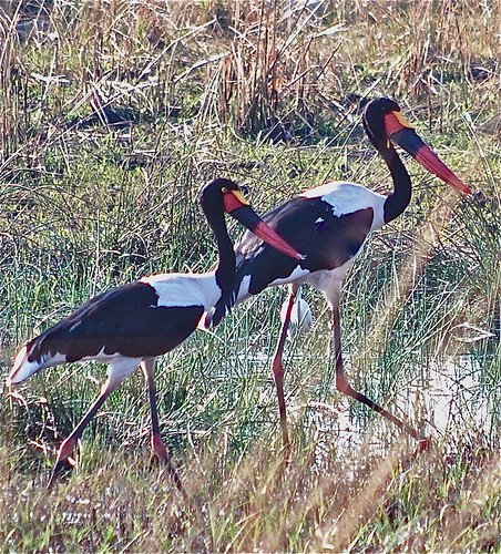 Saddle Billed Cranes - Botswana