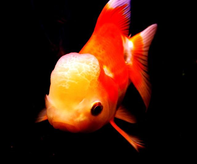 Orandas (not gold) Goldfish