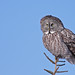 Great Gray Owl...#14 by Blackcat Photography