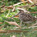 Pin-tailed Snipe by myrontay