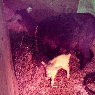 Mama and baby born today #goats #babygoats #farm #newhampshire #toocute