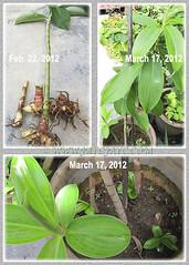 Propagating Cheilocostus speciosus (Crepe/Spiral Ginger), Feb. 22, 2012