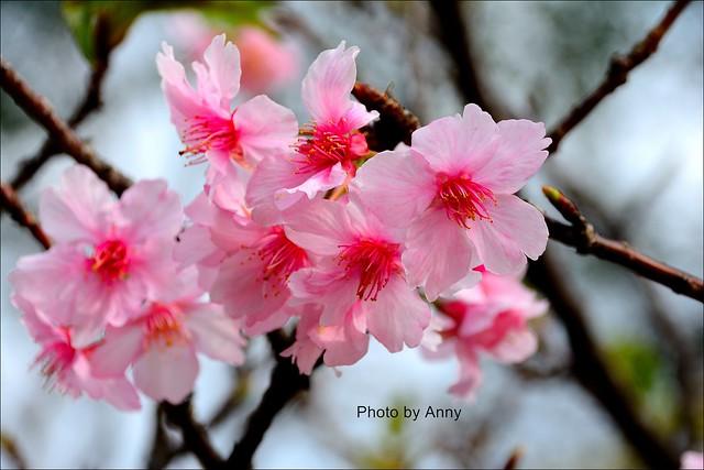 麗池櫻花8