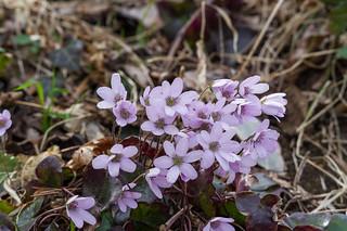 ユキワリソウ・・・桜尾根コース全域で咲いている