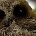 """""""Birds In Focus"""" has added a photo to the pool:Múcaro Común o Mucarito de Puerto Rico... (Endémica)Nombre en inglés: Puerto Rican Screech-Owl Nombre científico: Megascops nudipesFamilia taxonómica: StrigidaeFotografiado en: Reserva de Vida Silvestre Embalse Cerrillos en Ponce, Puerto Rico"""